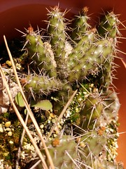 Buds. #opuntia #echinocereus (Mike's Mode (Miguel H.)) Tags: opuntia echinocereus