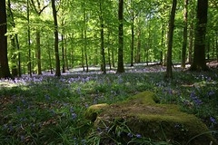 Soudley Bluebells (Taracy) Tags: soudley forest dean england bluebells wood