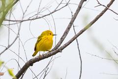 Yellow Warbler (mhawkins) Tags: chatfieldstatepark bird birds yellowwarbler
