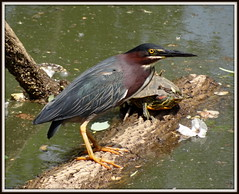 (uncle mike in knoxville) Tags: bird heron greenheron turtle redearedslider