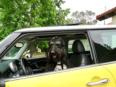 """""""I want driving lessons!""""  by Benni (Bennilover) Tags: dog dogs sunglasses mini minicooper car driving labradoodle benni bennigirl learning bossy 52weeksfordogs explore"""