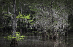 Young and Old (keith_shuley) Tags: cypress baldcypress moss green grey caddolake texas water