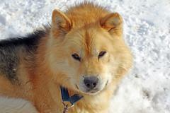 schlittenhunde in kangerlussuaq (Reinhard.Pantke) Tags: grrenlland sled dog