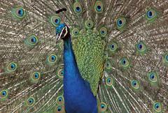 Peacock (Cornishcarolin. Stupid busy!! xx) Tags: devon httpswwwpaigntonzooorguk birds peacocks nature blue tails