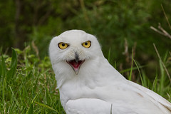 Snowy Owl (MV Photography (900,000 + Views)) Tags: canon 7d nature wildlife snowy owl bird birdofprey