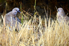 "White-winged_Doves_03 (DonBantumPhotography.com) Tags: wildlife nature birds animals whitewingeddoves farmland country ""donbantumphotographycom"" ""donbantumcom"" ""nikon d800"" afs nikkor 28300mm 13556g ed vr"""