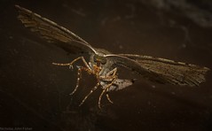 Parepisparis excusata (dustaway) Tags: arthropoda insecta lepidoptera geometridae oenochrominae parepisparisexcusata australianmoths geometermoth geometridmoth crypsis camouflage australianinsects tamborinemountain mounttamborine sequeensland queensland australia