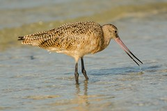 Such a tiny morsel (ChicagoBob46) Tags: marbledgodwit godwit bird florida bunchebeach nature wildlife ngc coth5 npc