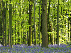 Bluebells off the A614 (DaveKav) Tags: nottinghamshire sherwood clumber park trees woodland spring bluebells a614