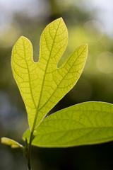 Sassafras (Stuart Borrett) Tags: forest northcarolina universityofnorthcarolinawilmington campus nature uncw university lauraceae tree leaf ecology vein green bokeh