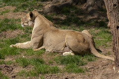 National Zoo 3 May 2018  (552) African Lion (smata2) Tags: lioness lion pantheraleo bigcats flickrbigcats smithsoniannationalzoo zoo zoosofnorthamerica itsazoooutthere animals zoocritters