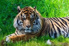 The Tiger (poidawgie) Tags: pointdefiancezoo canon80d tacoma washington canon70300mmf456lis tiger canon70300