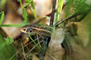 Between leaves and sticks (ErrorByPixel) Tags: reptile nature lizard leafs stick leaf animal sticks green macro close posing errorbypixel pentax k5