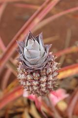 Pined (Alison Claire~) Tags: oahu hawaii usa honolulu travel canoneos eos 600d rebelt3i macro pineapple nature fruit piña dole plantation