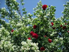 INTRECCI PRIMAVERILI (ROSE E FILADELFO) (Eli.b.) Tags: cielo sky ciel fiori flowers fleurs rose roses filadelfo intrecci colori colours verde rosso bianco blu albero arbre