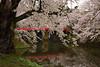 Cherry blossoms in full bloom on a rainy day (takashimuramatsu) Tags: cherry blossoms hirosaki aomori japan full bloom rainyday nikon d810 弘前公園 桜 満開