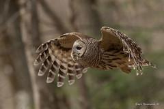 What goeth yonder? (Earl Reinink) Tags: owl raptor predator bird animal nature wildlife trees woods forest outdoors earl reinink earlreinink barred barredowl ttitaaodza