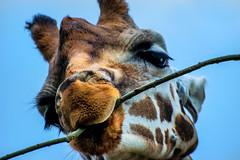 chew (Tony Shertila) Tags: upton england unitedkingdom europe britain cheshire chesterzoo animals chester mammal giraffe face eating chew