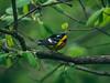 Magnolia Warbler (Jacob Valerio) Tags: jake valerio jacob nikon d800 ohio oak openings magnolia warbler