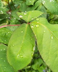 Droplets (daveandlyn1) Tags: leaves water droplets closeup macro pralx1 huawei foliage smartphone cameraphone pscamera