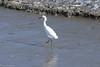 On the edge of the surf / На кромке прибоя (Vladimir Zhdanov) Tags: travel peru ocean water wave beach sand paracas animals birds heron egret bird
