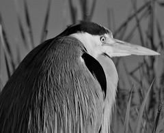 Black and White, Grey Heron (Gilli8888) Tags: northeast coastal coast seaside dawn sunrise whitleybay stmarysisland tyneandwear birds blackandwhite heron greyheron waders wetlands nikon coolpix p900