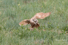 Burrowing Owl mating sequence - 16 of 22