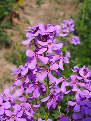 A flower stand of an annual honesty. (Bienenwabe) Tags: annualhonestyeinjährigessilberblattsilberblatt lunariaannua lunaria flower macro flowermacro plant