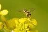 Mosca cernidora (Episyrphus balteatus) (Zoom Verde) Tags: mosca cernidora episyrphusbalteatus