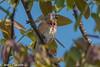 Carduelis cannabina ♂ - Common Linnet. (bollejeanclaude) Tags: granivores oiseaux passeraux photos linottes nature birds vogels namur wallonie belgique be