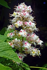 Horse Chestnut blossom (dogmarten28) Tags: horsechestnut tree conkertree aesculushippocastanum deciduous blossom flowers inflorescence spring sunshine wood