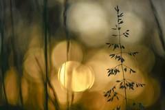 Sunset on meadow. (agnieszka.a.morawska) Tags: oldlens manualfocus manuallens macro grass light spring dof bokeh bokehlicious nature helios helios44m sunset meadow hi