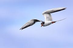 The Chase is On! (Patricia Ware) Tags: birdsinflight california canon ef400mmf4doisiiusmlens forsterstern handheld huntingtonbeach sky httppwarezenfoliocom ©2018patriciawareallrightsreserved unitedstates us specanimal