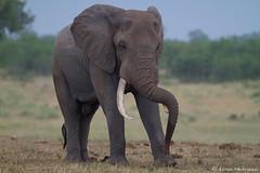 Standing at ease (the African way) (leendert3) Tags: leonmolenaar southafrica krugernationalpark wildlife nature mammals africanelephant ngc npc