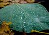 20171111-001 (sulamith.sallmann) Tags: natur pflanzen blatt botanik green grün nature oberfläche pflanze plants struktur surface textur texture wasser wassertropfen water sulamithsallmann
