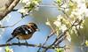 Grosbeak and Flowers (Rick Derevan) Tags: atascadero california unitedstates us pheucticusmelanocephalus blackheadedgrosbeak grosbeak bird plum plumtree flowers blossoms