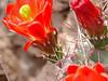 CAE012771a (jerryoldenettel) Tags: 180426 2018 blackspineclaretcup cactaceae caryophyllales chavesco claretcupcactus claretcup coreeudicots echinocereus echinocereustriglochidiatus kingscrowncactus mulecanyon nm robustclaretcup rosesclaretcup roseshedgehog spinelesshedgehog whitespinedclaretcup wildflower cactus flower kingcupcactus
