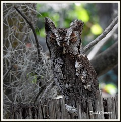 Screech Owl (todd5524) Tags: owl screech small tiny animals night amazing eyes close nature wild life outdoor trees
