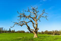 Still Standing (Greatoutdoorman) Tags: lightningstrike dead tree romsey england unitedkingdom gb