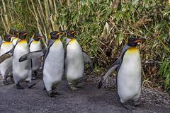Penguin parade (Tambako the Jaguar) Tags: penguin parade king bird walking baboos way portrait many zürich zoo switzerland nikon d4