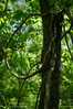 forest vines (pvh photo) Tags: tree vines forest smcm5017 bokeh