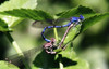 Hearts and minds (TJ Gehling) Tags: insect odonata zygoptera damselfly coenagrionidae dancer vividdancer argiavivida sex mating reproduction nonamecreek fluviusinnominatus centralcreek ohlonegreenway elcerrito