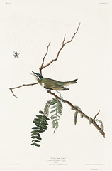Red-eyed Vireo from Birds of America (1827) by John James Audubon (1785 - 1851), etched by Robert Havell (1793 - 1878). The original Birds of America is the most expensive printed book in the world and a truly awe-inspiring classic. (Free Public Domain Illustrations by rawpixel) Tags: birdsofamerica johnjamesaudubon redeyedvireo roberthavell vireo vireoolivaceus america bird