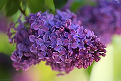 Lilac  -  Happy Weekend ! (eleni m) Tags: lilac flower flowers tree nature outdoor macro dof leaves petals green violet sunny flowering rich spring may macromademoiselle