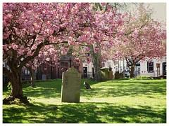 Cherry blossom... (2) (zapperthesnapper) Tags: sonyrx10 sonyimages sonycybershot sony cherryblossom standrewschurch penrith pink