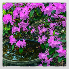 Springtime at the Birdbath (Timothy Valentine) Tags: 2018 birdbath 0518 springtime home rhododendron blossom eastbridgewater massachusetts unitedstates us