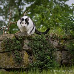 Feline (Ivan van Nek) Tags: herderstrase gera thüringen deutschland katze kat chat nikon nikond7200 d7200 germany allemagne duitsland cat wall