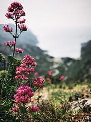 Sormiou Floral mai 2018 -  18 (akunamatata) Tags: sormiou floral balade mai 2018 parc des calanques park provence fleurs flowers sentier sciatique