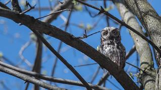 Petit duc maculé/Small screech Owl -13866