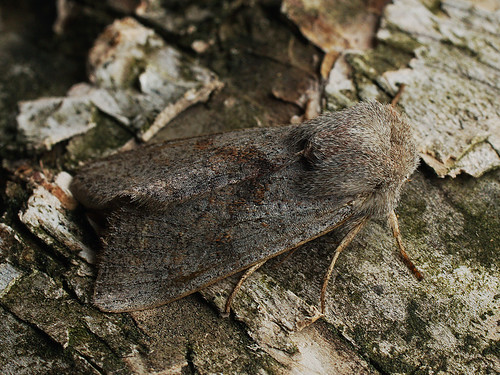 Orthosia opima - Northern drab